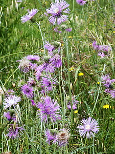 flowers, wild, mallow, nature, flower, wild flower, spring