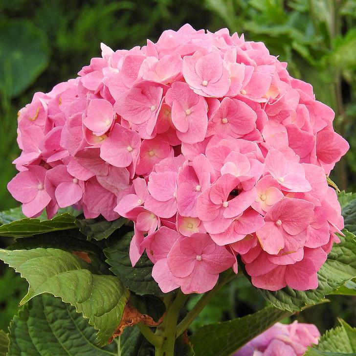 hydrangeas, gėlės, rožinė, gėlė, sodas, Žiedynas