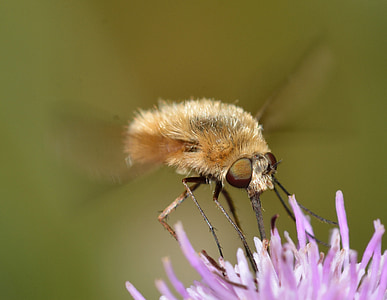 insectes, dípters, bombylius, inferior