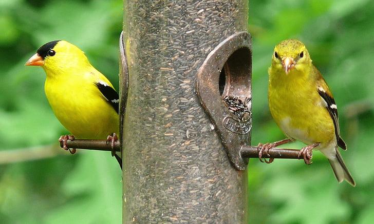 Američki goldfinches, ptice, hranilica, Čičak, biljni i životinjski svijet, divlje, kolac