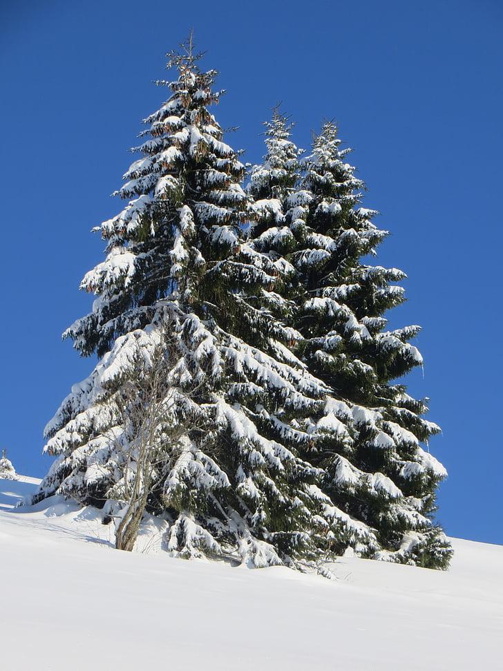 vinter, Fir, sne, Schwarzwald, vinterlige, skov, Fir tips