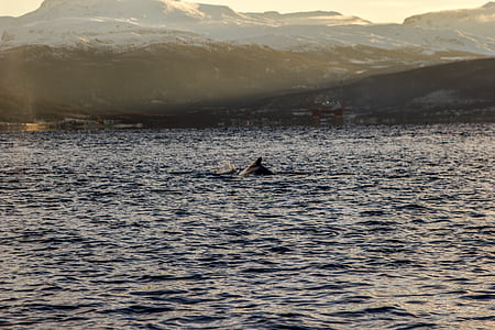 Whale, havet, vatten, sjön, landskap, vinter, kalla