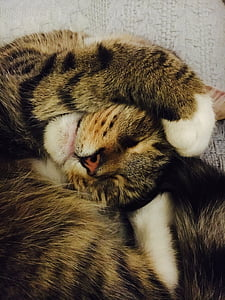 cat, funny, sleepy, sleeping, domestic, cute, pet