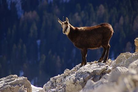 Chamois, Dolomites, núi, động vật, núi Alps, sừng, ý