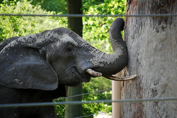 elefant, determinació, obstacle, poder, zoològic, animal, vida silvestre