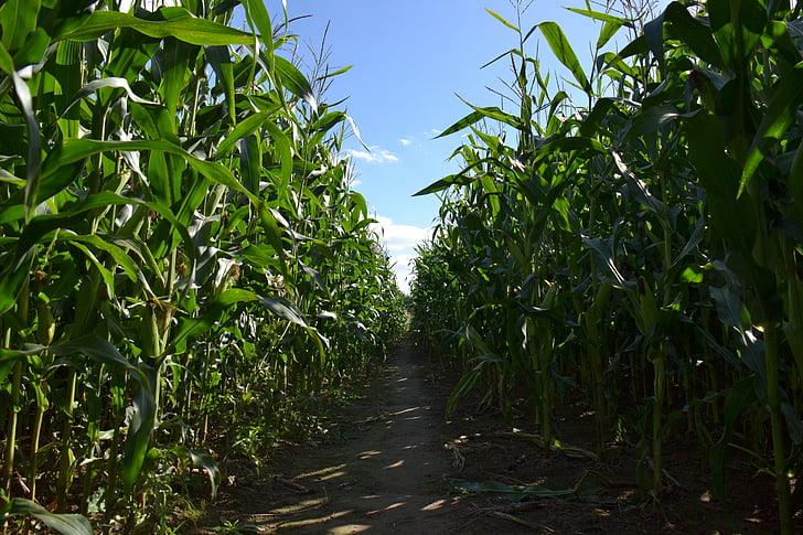 plants, cornfield, agriculture, corn, field, farming, rural
