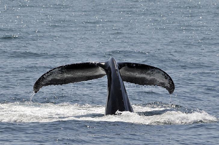 违反, 尾巴, 海洋, 哺乳动物, 海洋, 海, 水