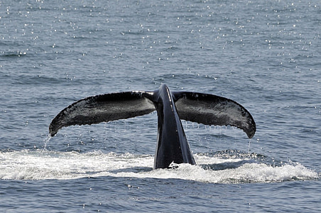 breaching, tail, ocean, mammal, marine, sea, water