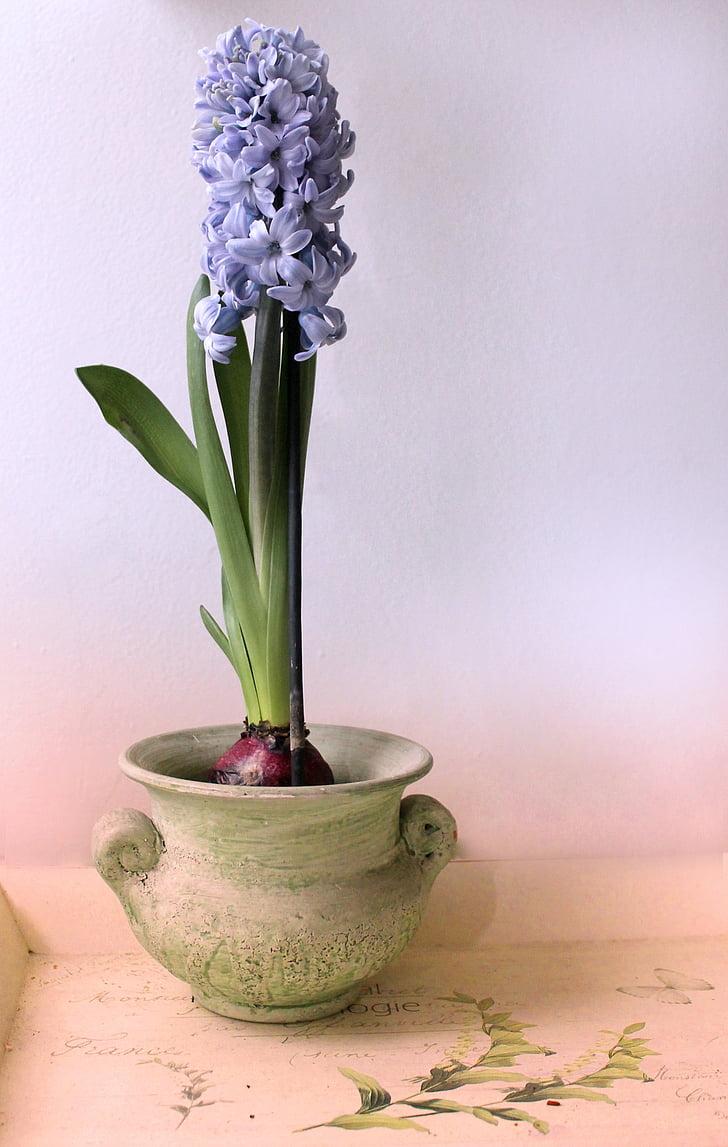hyacinth, still life, pot, purple, peaceful, plant, flower