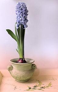 Hyacint, Zátiší, hrnec, fialová, mírové, závod, květ