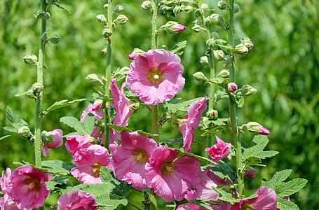 หุ้นกุหลาบ, ชบา, ดอกไม้, ดอกไม้, สีชมพู, ดอกตูม, สวน