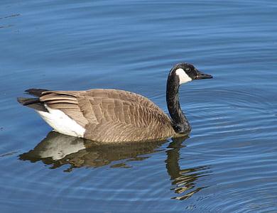 канадска гъска, плуване, Черни гъски canadensis, водолюбивите птици, пера, гъски, птица