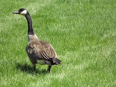 гъска, гъски, канадски, поле, крясък, птица, природата