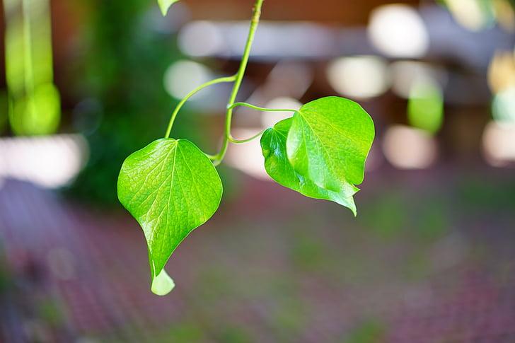 efeja, efeja leaf, gluda, spīdēt, zaļa, atstāj