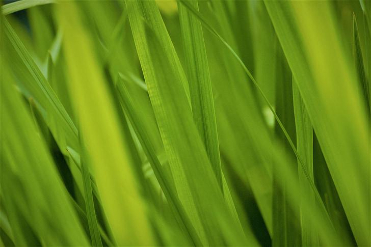 verd, gramínies, natura, l'herba alta, herba verda, Frisch, primavera