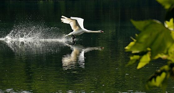 birds, rivers, animals, swans, bird, nature, animal