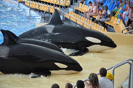 orques, spectacles d'orques, Killer, Ténérife, nature
