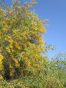 vale mimosa, Mimosa, kollane, kevadel, mimoos taime, dekoratiivtaimede, Bush
