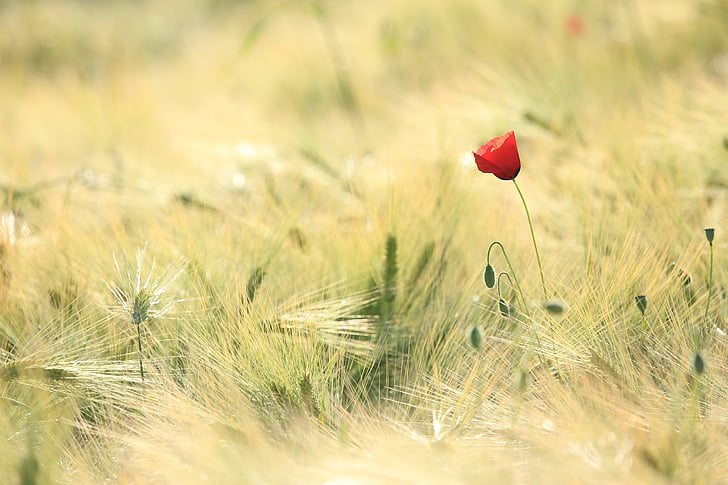 poppy, fields, landscape, nature, field, cereals, agricultural
