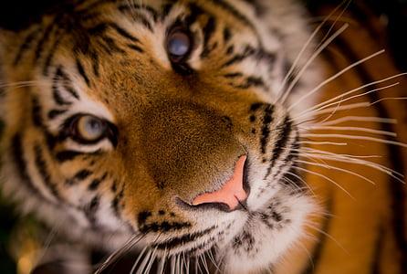 Tiger, lihansyöjä, raidat, kissa, kissan, viikset, eläinten