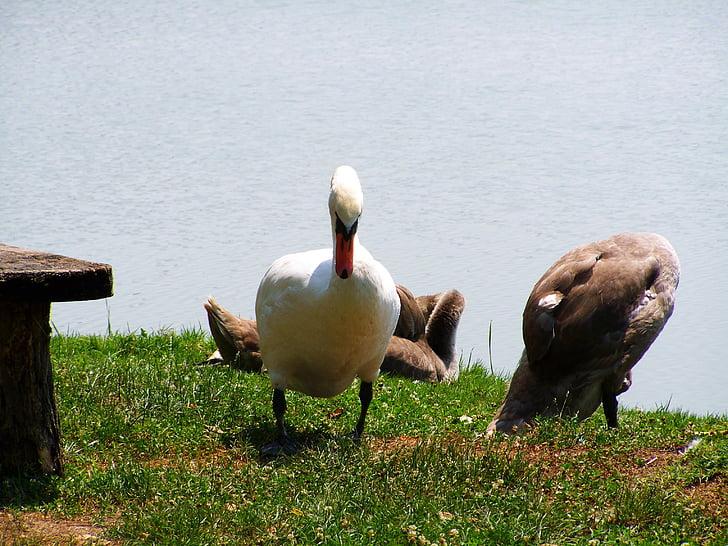 swan, mama swan, swan chicks, waterfowl, bird, animal, nature