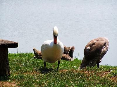 スワン, ママ白鳥, 白鳥の雛, 水鳥, 鳥, 動物, 自然