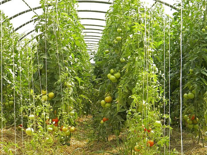 amap, žemės ūkis, Bio, pomidorai