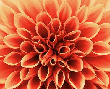 dàlia, tardor, asteràcies, jardí de flors, flor ornamental, jardí de dàlia, flor