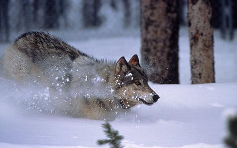 wolf, running, snow, mammal, canis lupus, grey, gray