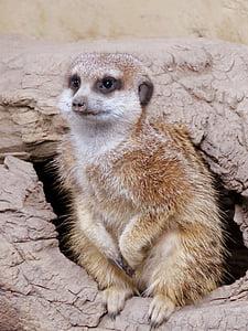 Meerkat, Mangust, Calgary zoo, Nunnu, looma, imetaja, Wildlife