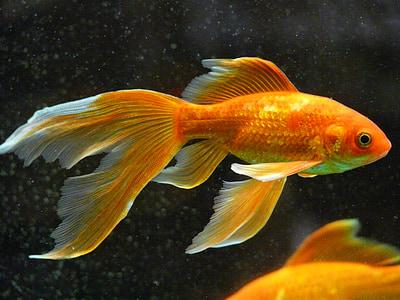 veiltail, fish, goldfish, swim, aquarium, freshwater fish, karpfenfisch