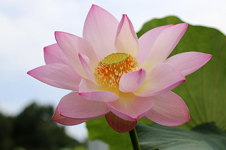 lotus flowers, beauty, the beauty, natural, rose petals, watering the plants, ao