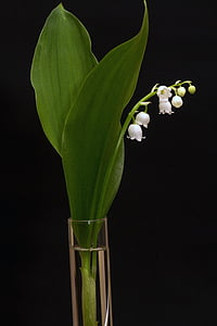 lily of the valley, convallaria majalis, spring, white, bell, flower, nature