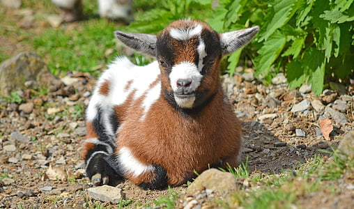 goat, goats young, animal, animal child, animal children, young animals, young