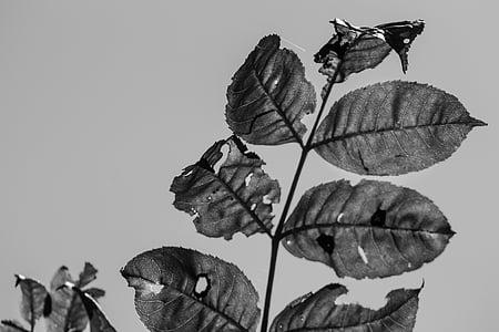 blanc de negre, fulles, sol, cel, venes, natura, blanc i negre