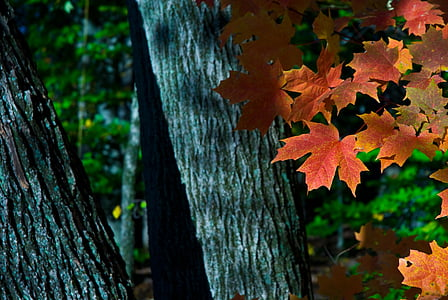 drzewo klon, jesień, pozostawia, liści, kolorowe, Woods, klon