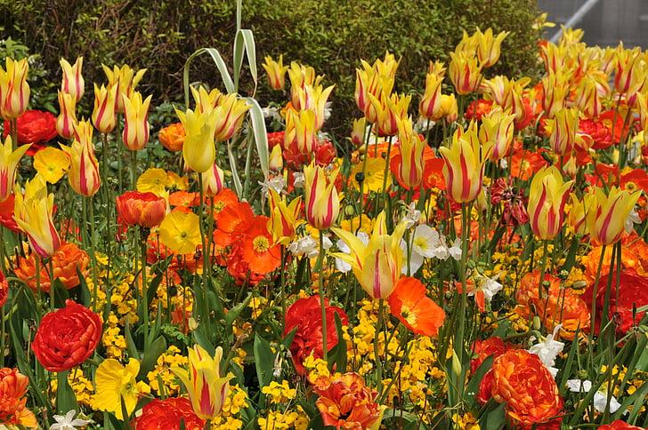 tulipes, primavera, vibrants