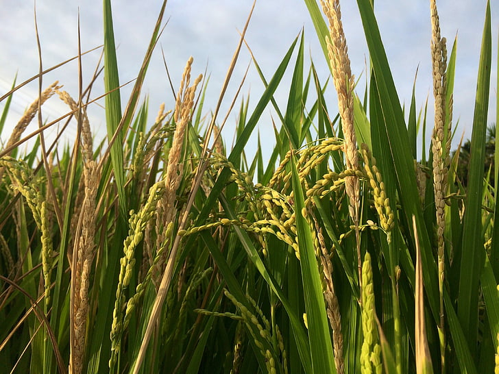 meter, rice, plant