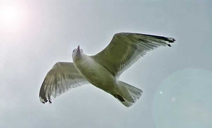 martı, kuş, martı, gökyüzü, yükselen, uçan, Shore kuş