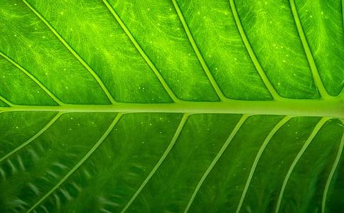 fulla, natura, fusta, verd, les fulles, hwalyeob, resum
