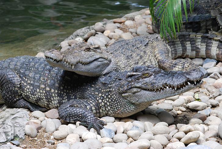 crocodile, zoo, mouth, animals, pa, nature, river