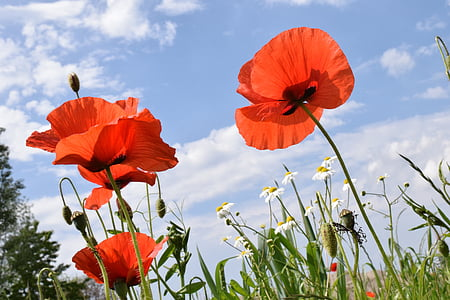 poppy, klatschmohn, red, poppy flower, field of poppies, nature, blossom