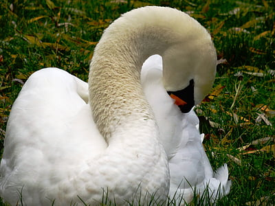 swan, water bird, animal, bird, nature, pride, animal world