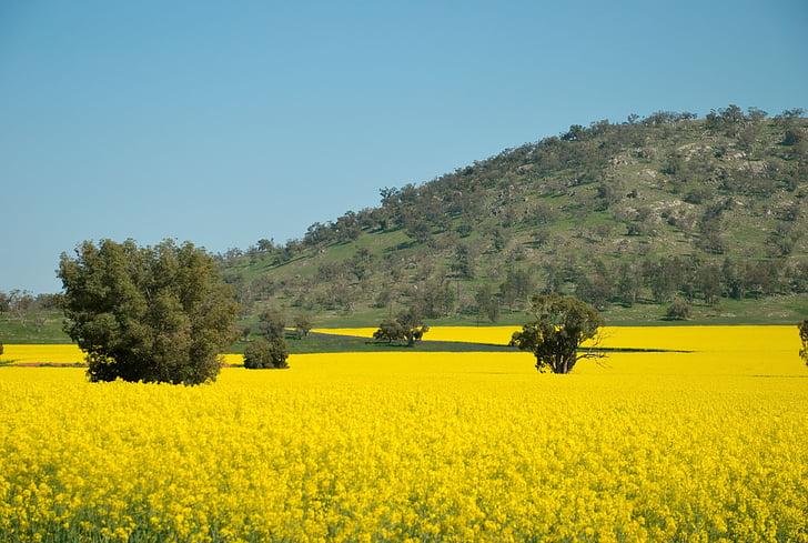 camp, verd, primavera, groc, olors