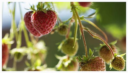 jagode, sadje, sadje, rdeča, svežina, hrane, zrel