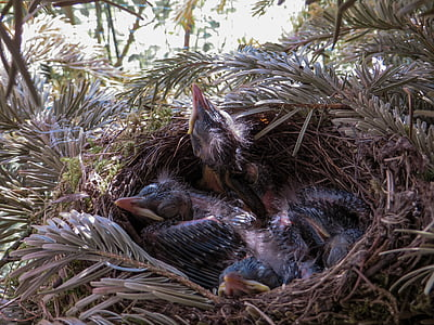 spring, blackbird, nest, bird's nest, blackbird nest, bird, feather