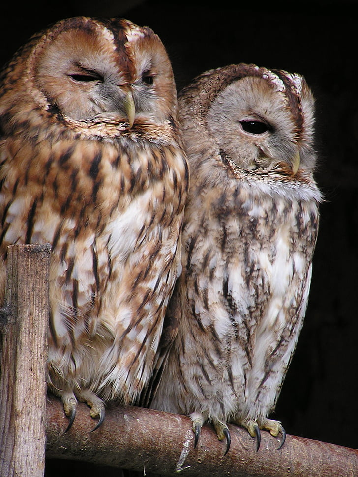 Горска улулица, бухал, птица, птици, нощно активни, животните, дива природа