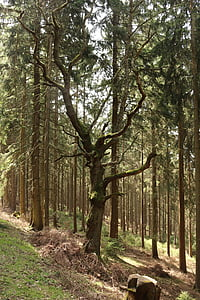 forest, tree, old tree, log, mood, stone, coniferous forest
