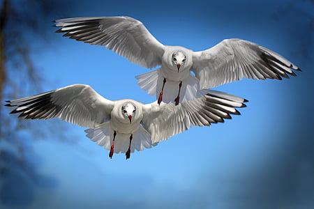 gavines, ocells, volar, ocell d'aigua, seevogel, animal, ala