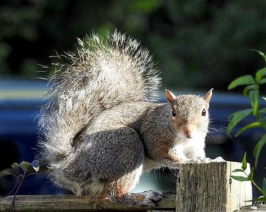 vida silvestre, esquirol, espessa